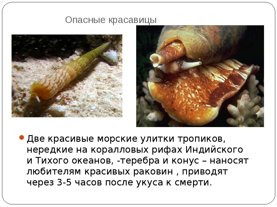Опасные красавицы Две красивые морские улитки тропиков, нередкие на коралловы...