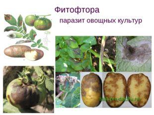 Фитофтора паразит овощных культур
