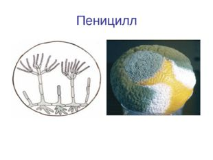 Пеницилл