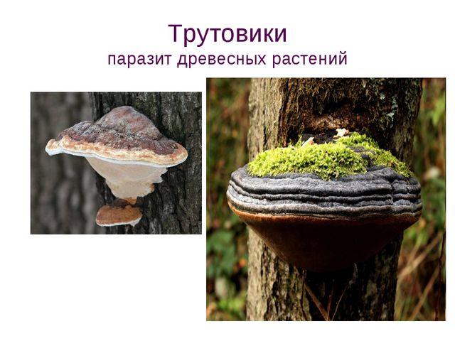 Трутовики паразит древесных растений