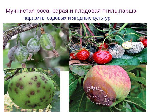 Мучнистая роса, серая и плодовая гниль,парша паразиты садовых и ягодных культур