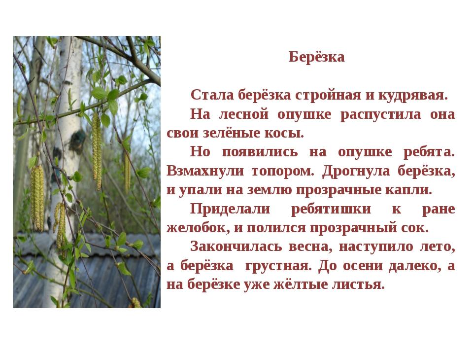 Берёзка Стала берёзка стройная и кудрявая. На лесной опушке распустила она с...