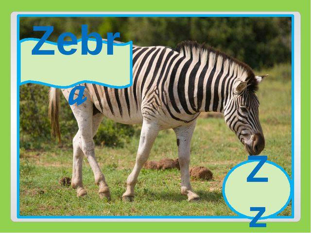 Zz Zebra Zz