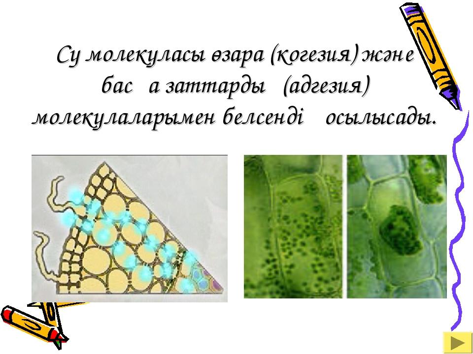 Су молекуласы өзара (когезия) және басқа заттардың(адгезия) молекулаларымен б...