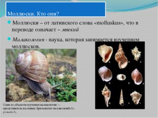 Моллюски. Кто они? Моллюски – от латинского слова «molluskus», что в перевод