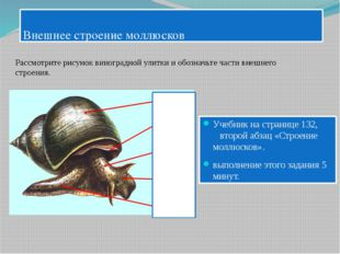 Внешнее строение моллюсков Учебник на странице 132, второй абзац «Строение м