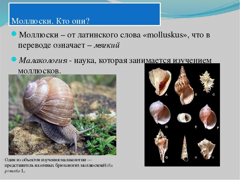 базы майлов брюхоногие моллюски картинки с названиями тема природы