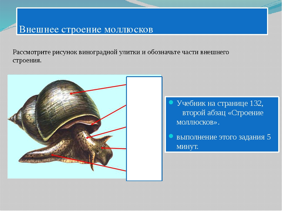Внешнее строение моллюсков Учебник на странице 132, второй абзац «Строение м...