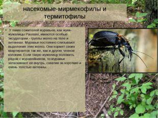 насекомые-мирмекофилы и термитофилы У таких сожителей муравьев, как жуки-жуже