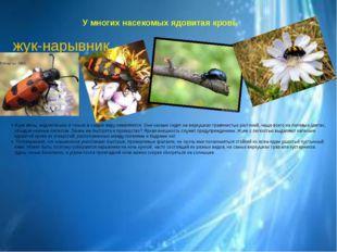 У многих насекомых ядовитая кровь жук-нарывник. Жуки вялы, медлительны и толь