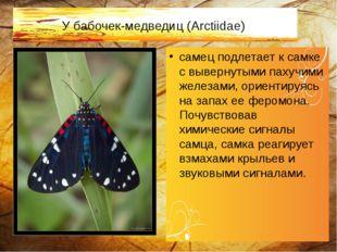 У бабочек-медведиц (Arctiidae) самец подлетает к самке с вывернутыми пахучими