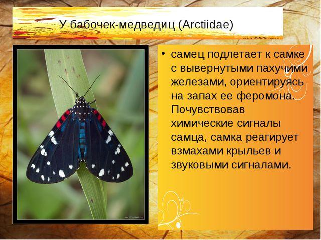 У бабочек-медведиц (Arctiidae) самец подлетает к самке с вывернутыми пахучими...