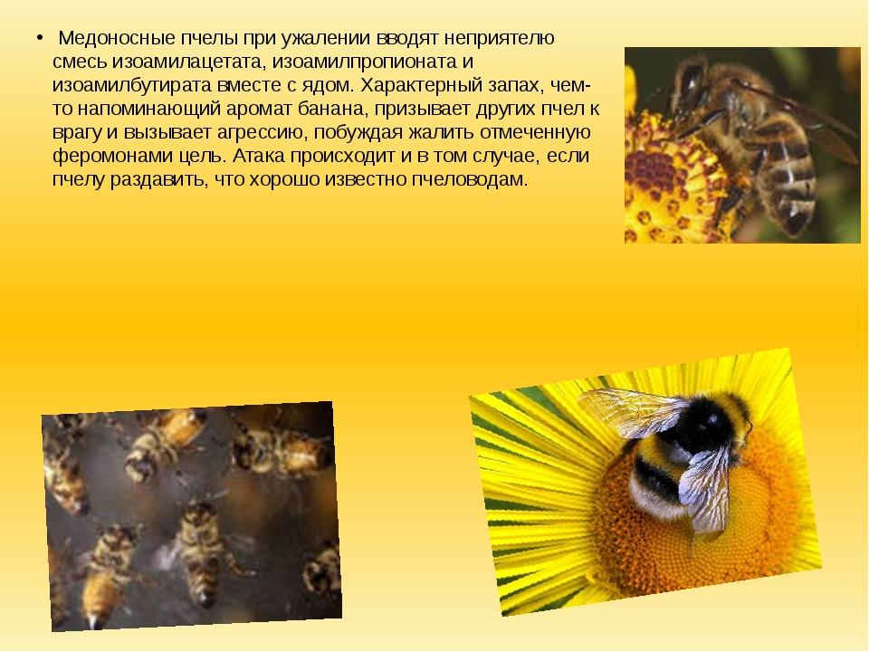 Медоносные пчелы при ужалении вводят неприятелю смесь изоамилацетата, изоами...