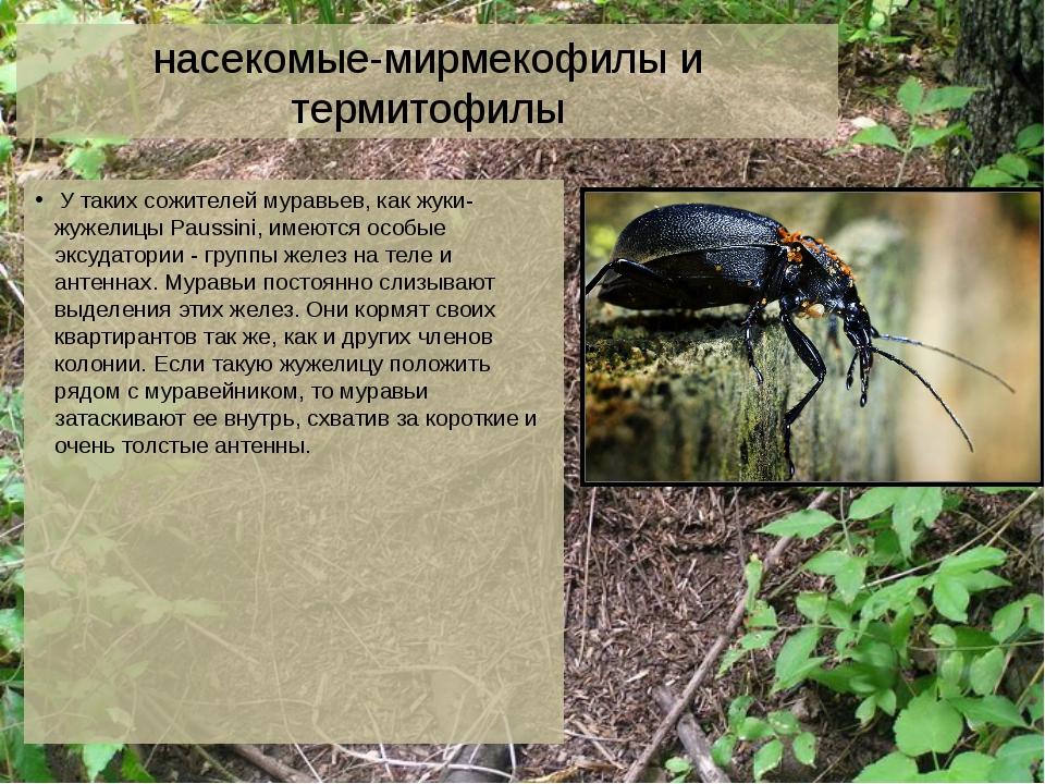 насекомые-мирмекофилы и термитофилы У таких сожителей муравьев, как жуки-жуже...