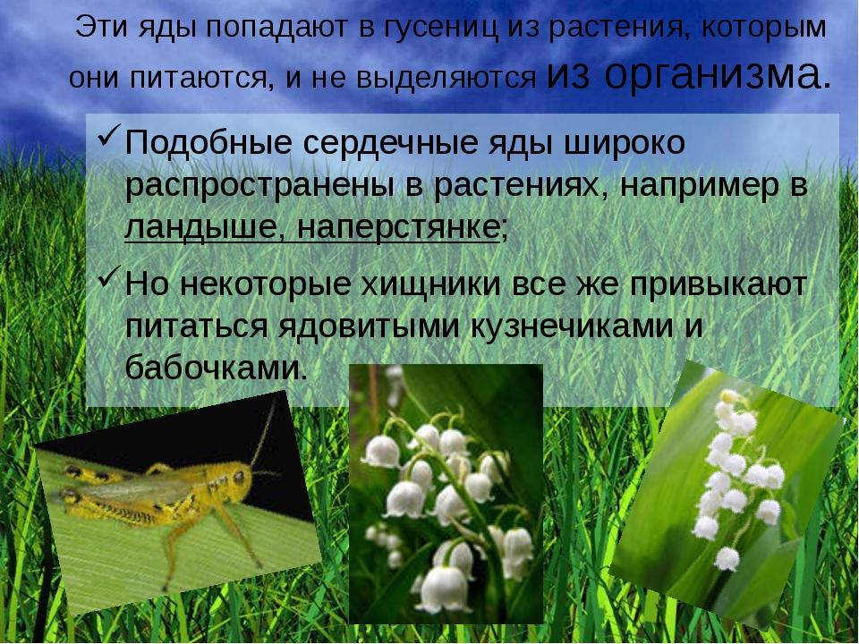 Эти яды попадают в гусениц из растения, которым они питаются, и не выделяются...