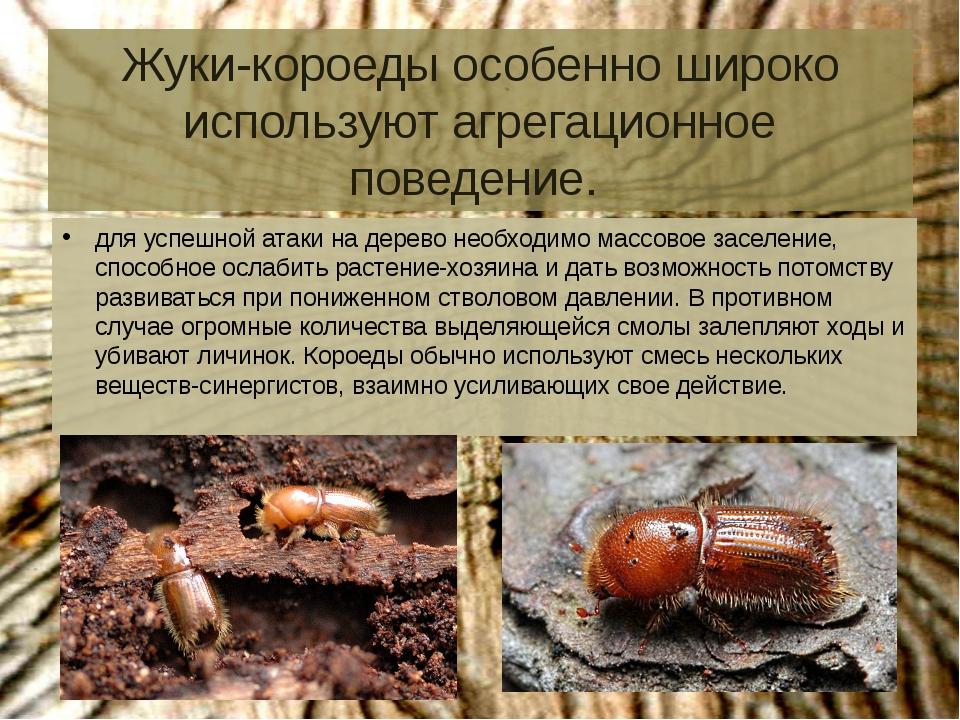 Жуки-короеды особенно широко используют агрегационное поведение. для успешной...