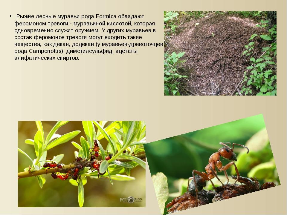 Рыжие лесные муравьи рода Formica обладают феромоном тревоги - муравьиной ки...