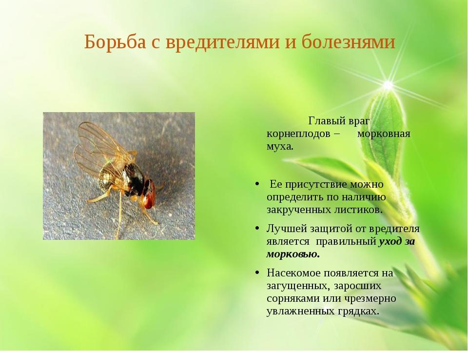 Борьба с вредителями и болезнями Главый враг корнеплодов – морковная муха. Е...