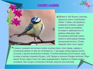 Щёчки и лоб белые; затылок, крылья и хвост голубовато-синие. Спина, как прави