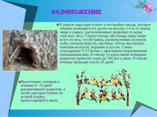 РАЗМНОЖЕНИЕ В апреле пара приступает к постройке гнезда, которое обычно помещ