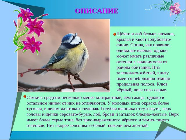 Щёчки и лоб белые; затылок, крылья и хвост голубовато-синие. Спина, как прави...