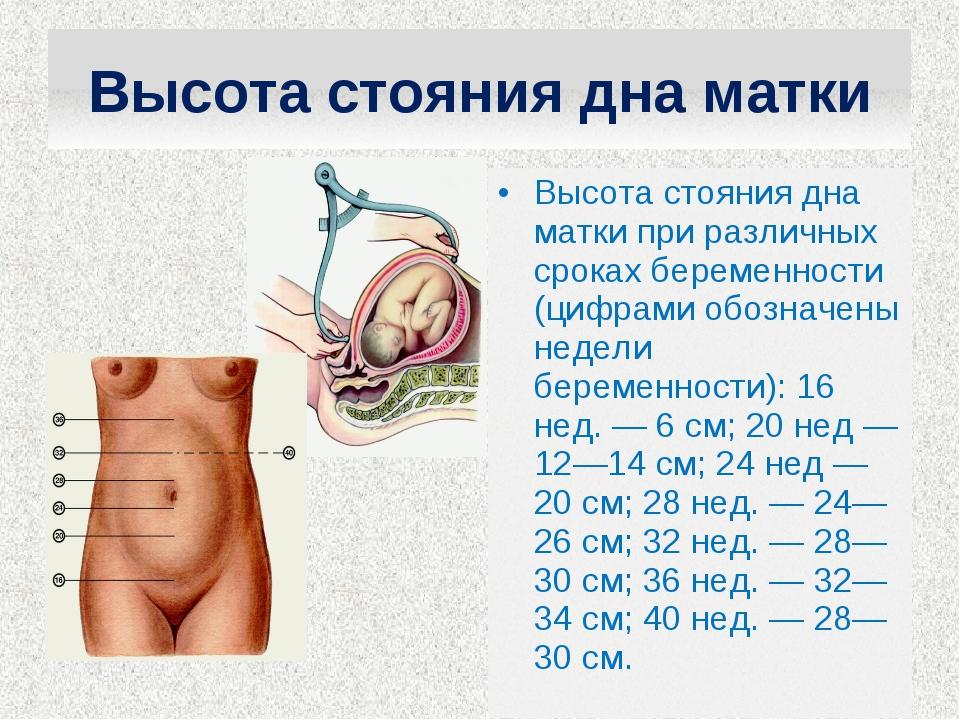 Высота стояния дна матки при различных сроках беременности (цифрами обозначен...