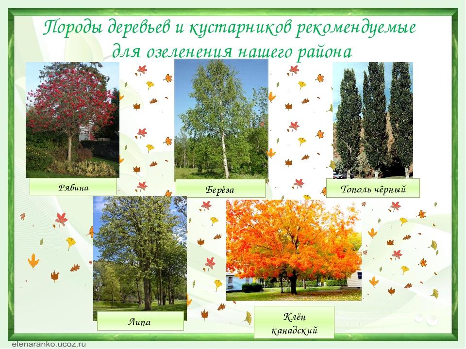 Породы деревьев и кустарников рекомендуемые для озеленения нашего района Берё...