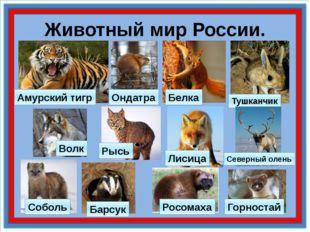 Животный мир России. Амурский тигр Тушканчик Ондатра Соболь Барсук Горностай