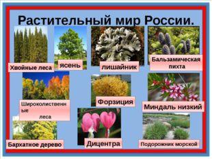 Растительный мир России. лишайник Бальзамическая пихта Подорожник морской Мин