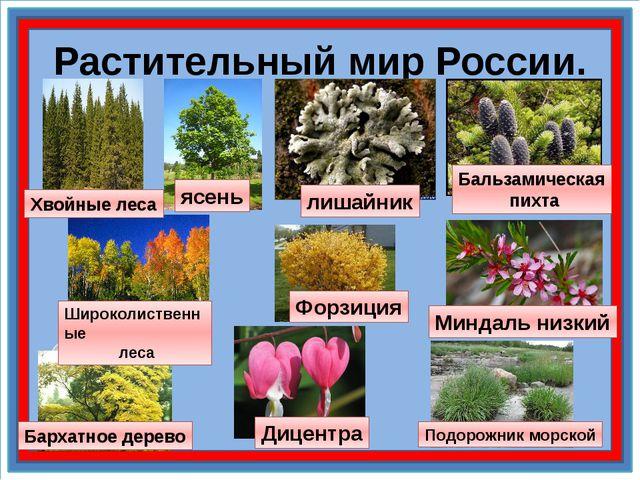 Растительный мир России. лишайник Бальзамическая пихта Подорожник морской Мин...