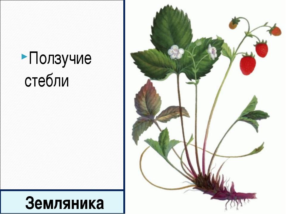 Земляника Ползучие стебли