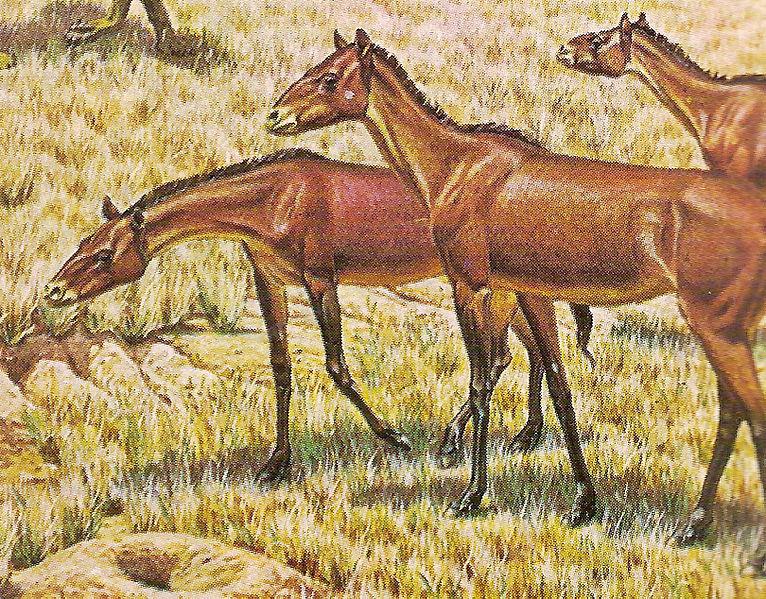 Происхождение и История лошади. Parahippus
