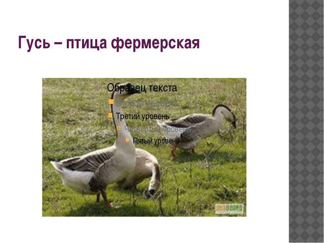 Гусь – птица фермерская