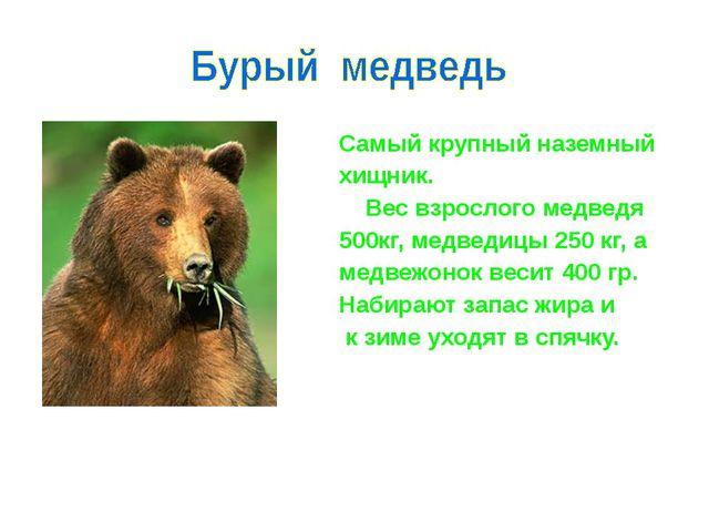Самый крупный наземный хищник. Вес взрослого медведя 500кг, медведицы 250 к...