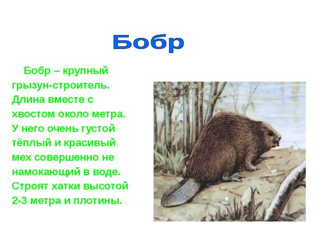 Бобр – крупный грызун-строитель. Длина вместе с хвостом около метра. У него...