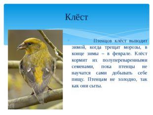 Птенцов клёст выводит зимой, когда трещат морозы, в конце зимы – в феврале.