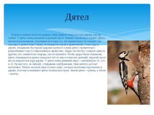 Дятел Острые и цепкие когти на пальцах легко держат птицу на коре дерева, как