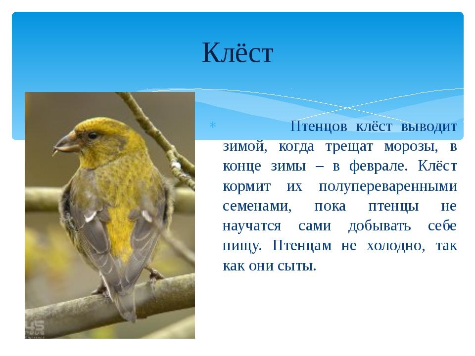 Птенцов клёст выводит зимой, когда трещат морозы, в конце зимы – в феврале....