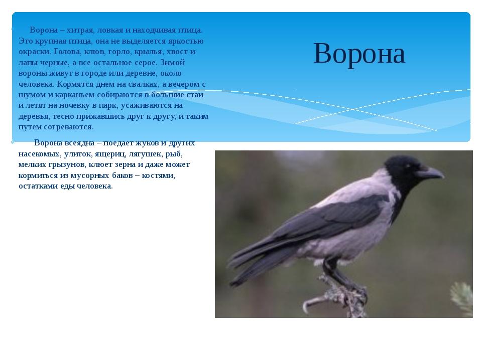 Ворона – хитрая, ловкая и находчивая птица. Это крупная птица, она не выделя...
