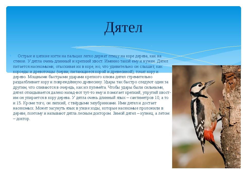 Дятел Острые и цепкие когти на пальцах легко держат птицу на коре дерева, как...