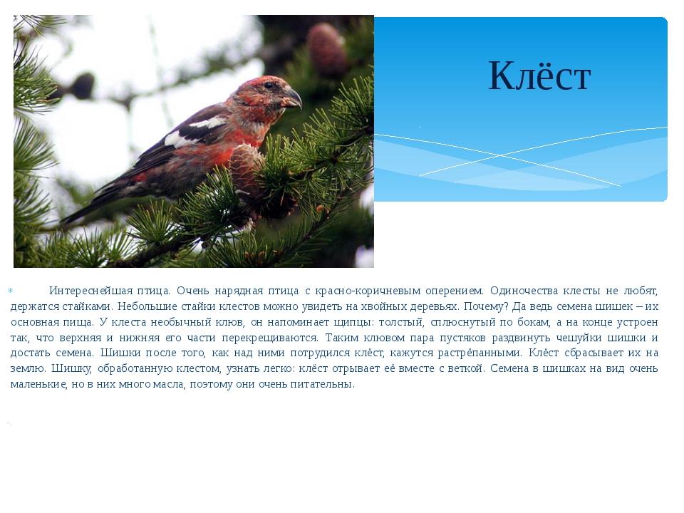 Интереснейшая птица. Очень нарядная птица с красно-коричневым оперением. Оди...