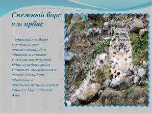 Снежный барс илиирбис – единственный вид крупных кошек, приспособившийся об