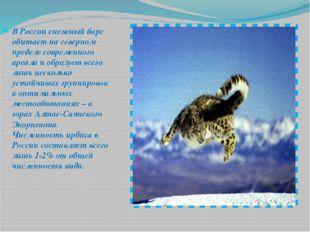 В России снежный барс обитает на северном пределе современного ареала и образ