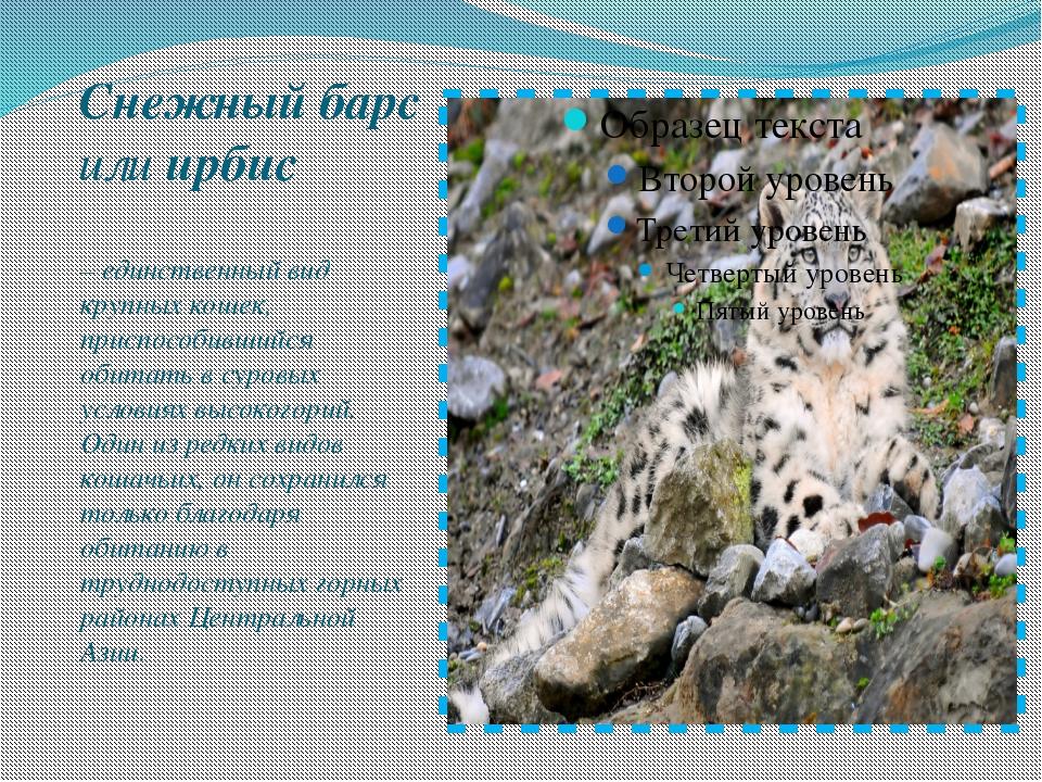 Снежный барс илиирбис – единственный вид крупных кошек, приспособившийся об...