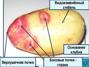 Верхушечная почка Боковые почки - глазки Основание клубня Видоизменённый стеб