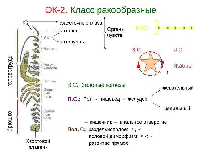 ОК-2. Класс ракообразные головогрудь брюшко антенны антенуллы Хвостовой плавн...