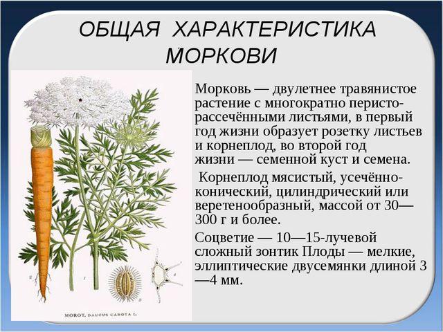 ОБЩАЯ ХАРАКТЕРИСТИКА МОРКОВИ Морковь— двулетнее травянистое растение с мног...