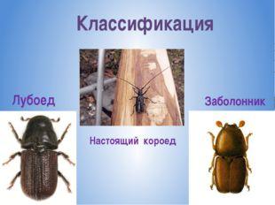 Классификация Лубоед Настоящий короед Заболонник