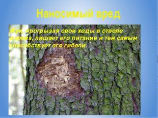 Наносимый вред Жук, прогрызая свои ходы в стволе дерева, лишает его питания и