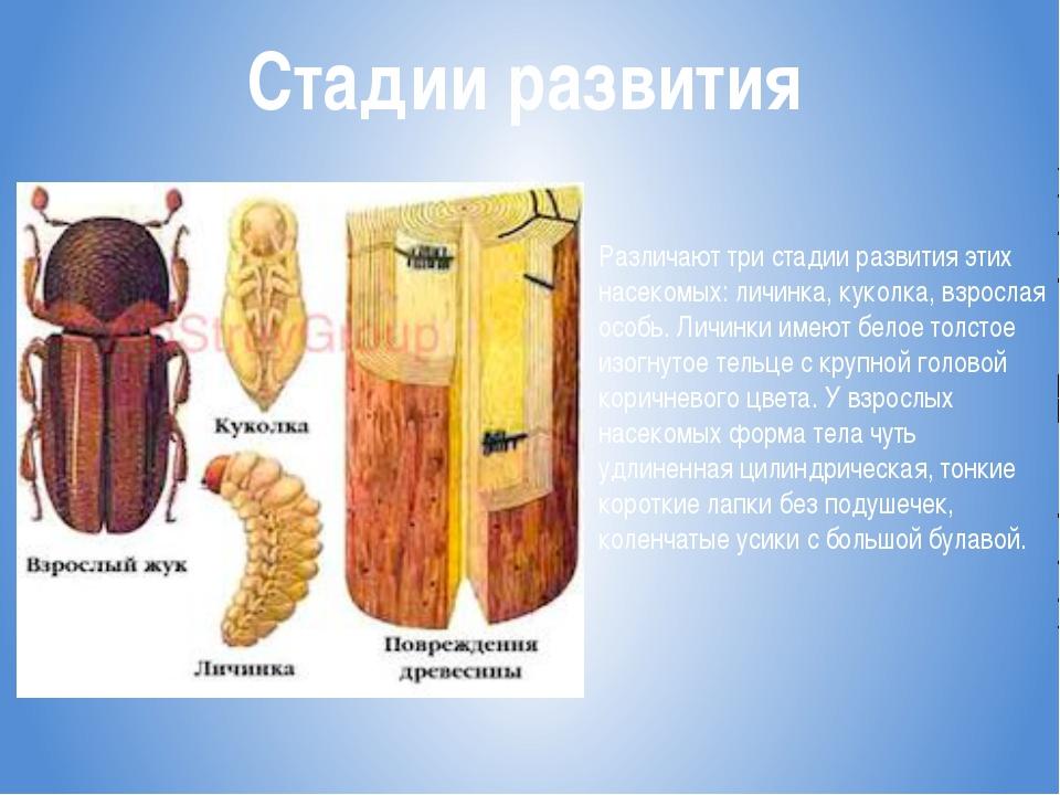 Стадии развития Различают три стадии развития этих насекомых: личинка, куколк...